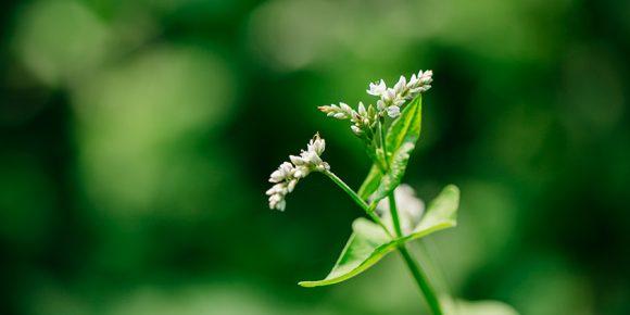 小さな白い花を咲かせるそば
