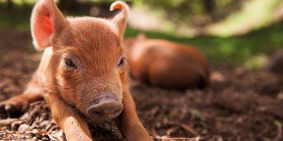 気持ちよさそうに地面に寝そべる子豚