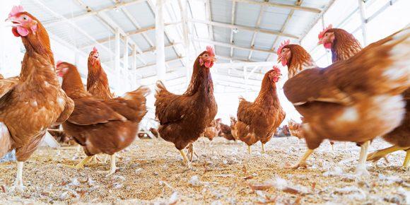 光と風の入る鶏舎で動きまわる鶏