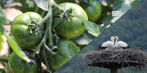 畑で実るトマトと、巣塔のコウノトリ